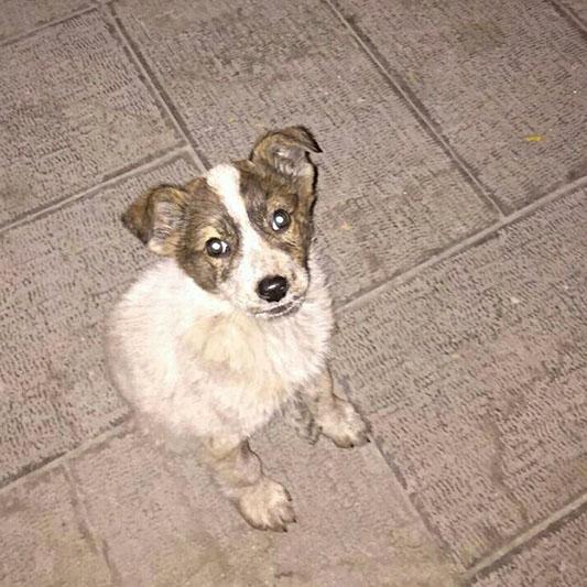 واگذاری سگ جک راسل تریر باران پت