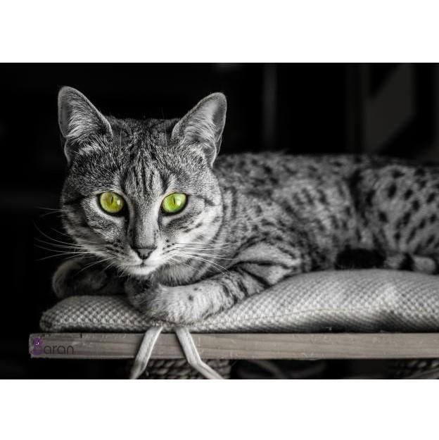 گربه نژاد اسکاتیش
