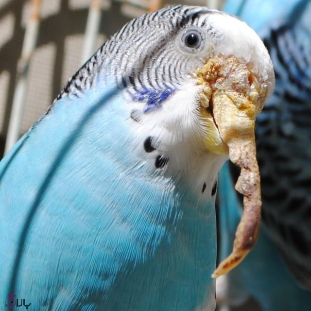 انگل های خارجی پرندگان