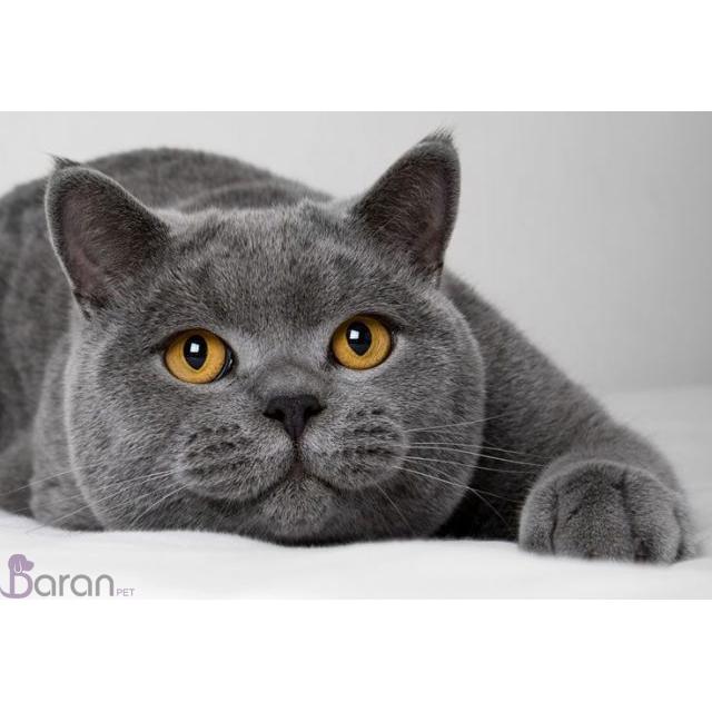 گربه نژاد بریتیش موکوتاه