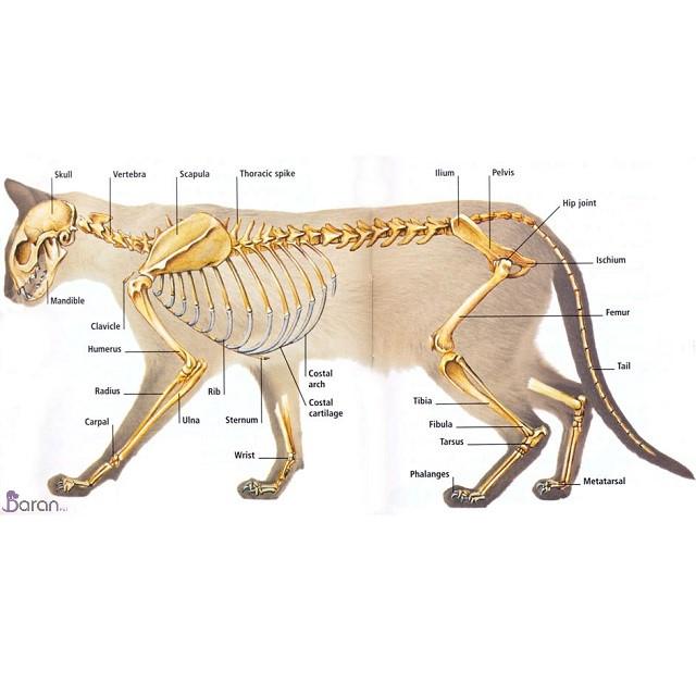 آناتومی گربه